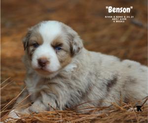 Australian Shepherd Puppy for sale in NACOGDOCHES, TX, USA