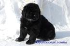 Newfoundland Puppy For Sale in Yemanzhelinsk, Chelyabinsk, Russia