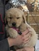 Golden Retriever Puppy For Sale in ROLETTE, ND, USA