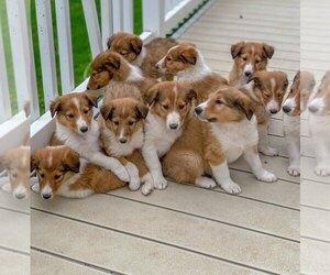 Collie Puppy for sale in LA MOTTE, IA, USA
