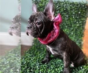 French Bulldog Puppy for Sale in KENDALL PARK, New Jersey USA