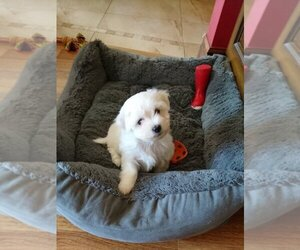 Maltese Puppy for sale in JACKSONVILLE, FL, USA
