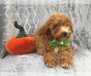 Poodle (Toy) Puppy for sale in LAKELAND, FL, USA