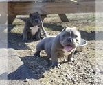Small Photo #6 American Bully-American Pit Bull Terrier Mix Puppy For Sale in DRACUT, MA, USA