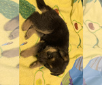 Small Photo #5 German Shepherd Dog Puppy For Sale in ALBANY, NY, USA