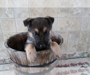 German Shepherd Dog Dog for Adoption in THREE RIVERS, Michigan USA