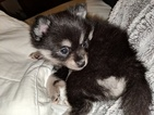 Pomsky Puppy For Sale in LOVELAND, CO, USA