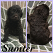 Labradoodle Puppy For Sale in SUMMERVILLE, SC, USA