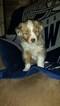 Miniature Australian Shepherd Puppy For Sale in ALICE, TX, USA