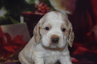 Cocker Spaniel Puppy For Sale in MOULTON, IA
