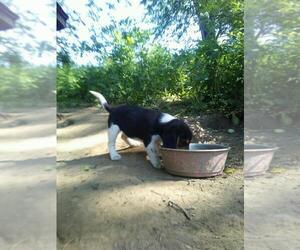 Beagle Puppy for sale in PATERSON, NJ, USA