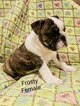 English Bulldog Puppy For Sale in PORT SAINT LUCIE, Florida,