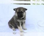 Small Norwegian Elkhound