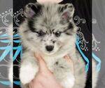 Puppy 5 Huskimo