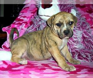 Catahoula Bulldog Puppy for sale in ELBERTA, AL, USA