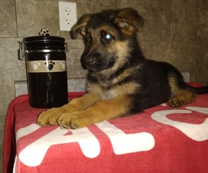 German Shepherd Dog Puppy for Sale in MILFORD, Indiana USA