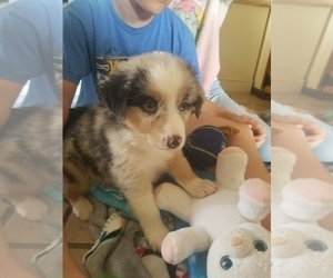 Australian Shepherd Puppy for Sale in MONONA, Iowa USA