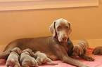 Weimaraner Puppy For Sale in PIEDMONT, SC, USA