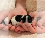 Puppy 6 Mal-Shi