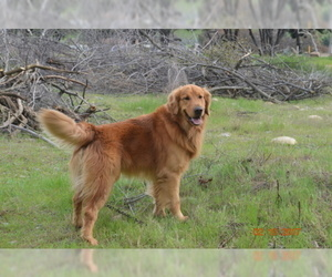 Father of the Golden Retriever puppies born on 07/01/2019