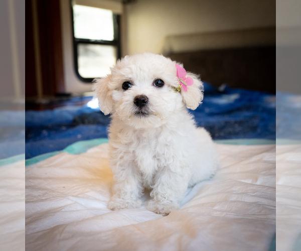 Medium Photo #1 Zuchon Puppy For Sale in ACTON, CA, USA