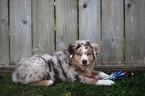 Miniature Australian Shepherd Puppy For Sale in MOUNT VERNON, Washington,