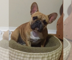 Mother of the French Bulldog puppies born on 06/11/2020