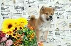 Shiba Inu Puppy For Sale in SAN DIEGO, CA, USA