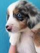 Miniature Australian Shepherd Puppy For Sale in CHIEFLAND, FL, USA