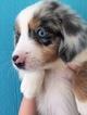 Miniature Australian Shepherd Puppy For Sale in CHIEFLAND, FL,