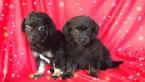 Pom-A-Poo-Pomeranian Mix Puppy For Sale in SAN FRANCISCO, CA, USA