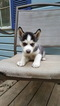 Siberian Husky Puppy For Sale in LOCUST, NC