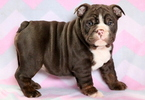 Bulldog Puppy For Sale in MOUNT JOY, PA, USA