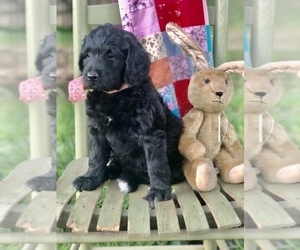 Bernedoodle Puppy for Sale in ADAIRVILLE, Kentucky USA