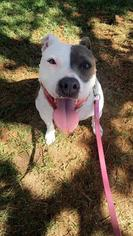 Evie (NEEDS A FOSTER) - American Staffordshire Terrier / Dalmatian Dog For Adoption