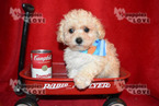 Poodle (Toy) Puppy For Sale near 76266, Sanger, TX, USA