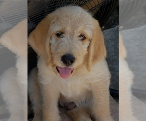 Goldendoodle-Labrador Retriever Mix Puppy for sale in BROOKSVILLE, FL, USA