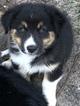 Small #6 Australian Shepherd