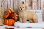 Penny Female Golden Retriever