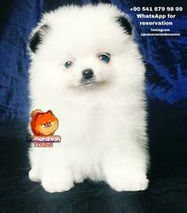 Pomeranian Puppy for sale in Barcelona, Catalonia, Spain