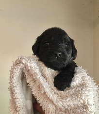 Goldendoodle Puppy For Sale in TRYON, NC, USA