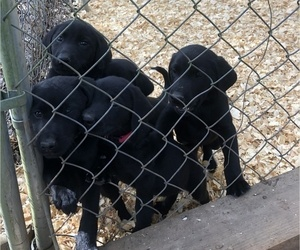 Labrador Retriever Puppy for sale in KELSO, TN, USA