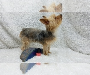 Father of the Yorkshire Terrier puppies born on 02/02/2021