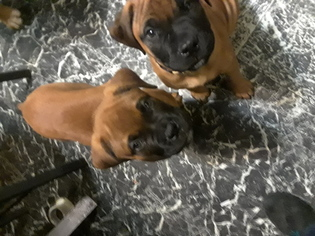 Bullmastiff Puppy For Sale in WEST SPRINGFIELD, MA, USA