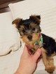 Yorkshire Terrier Puppy For Sale in SHAWNEE, KS, USA