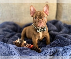 French Bulldog Puppy for sale in MODESTO, CA, USA