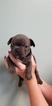 French Bulldog Puppy For Sale in LAGRANGE, Georgia,