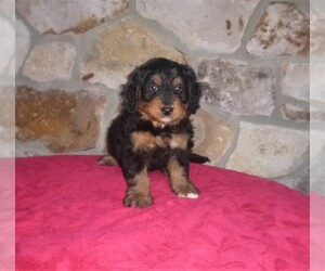 Bernedoodle Puppy for Sale in DONNALLY MILL, Pennsylvania USA