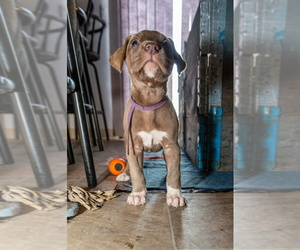 Great Dane-Siberian Husky Mix Puppy for sale in LONGVIEW, WA, USA