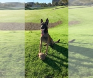 Father of the Belgian Malinois puppies born on 05/07/2020